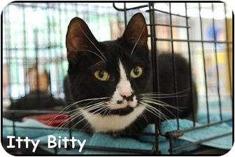 Domestic Shorthair Cat for adoption in Merrifield, Virginia - Itty Bitty
