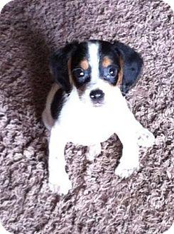 Beagle/Cocker Spaniel Mix Puppy for adoption in Encinitas, California - Buster