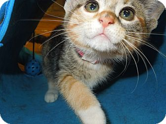 Domestic Shorthair Kitten for adoption in Medina, Ohio - Talia