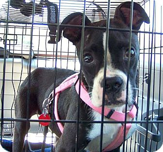 Boston Terrier/Boxer Mix Dog for adoption in Greensboro, North Carolina - Harley Jane