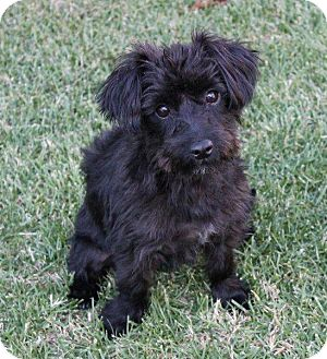 Havanese/Shih Tzu Mix Dog for adoption in La Habra Heights, California - Amy