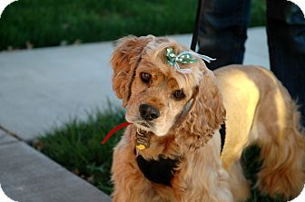 Cocker Spaniel Dog for adoption in Sacramento, California - Lilly
