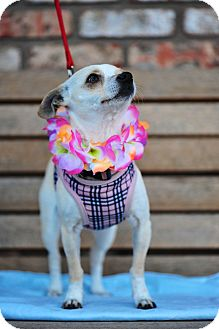 Chihuahua Mix Dog for adoption in San Marcos, California - Freckles
