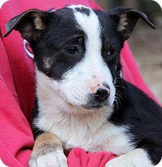 Border Collie/German Shepherd Dog Mix Puppy for adoption in Pewaukee, Wisconsin - Luna