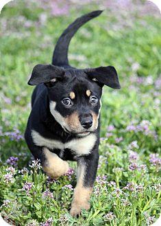 Shar Pei/Labrador Retriever Mix Puppy for adoption in Westminster, Colorado - Deeno