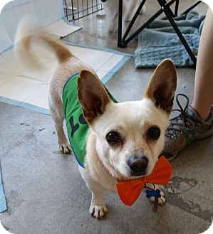 Chihuahua/Terrier (Unknown Type, Small) Mix Dog for adoption in Los Angeles, California - Capone