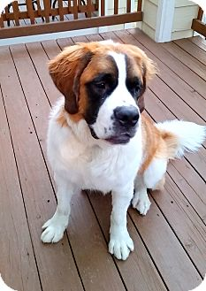 St. Bernard Mix Puppy for adoption in Denver, Colorado - Everly