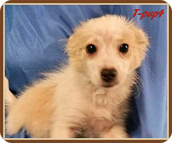 Terrier (Unknown Type, Small) Mix Puppy for adoption in Ahoskie, North Carolina - T-pup4