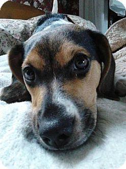 Beagle Dog for adoption in Ashland, Kentucky - Rabbit