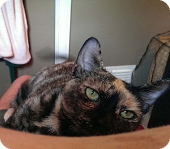 Domestic Shorthair Cat for adoption in Lombard, Illinois - Cassie