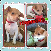 Chihuahua Mix Dog for adoption in Scottsdale, Arizona - Townsend