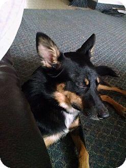 Australian Kelpie/Australian Cattle Dog Mix Dog for adoption in Torrington, Wyoming - Shadow