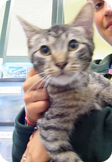 Domestic Shorthair Kitten for adoption in Grinnell, Iowa - Jeb