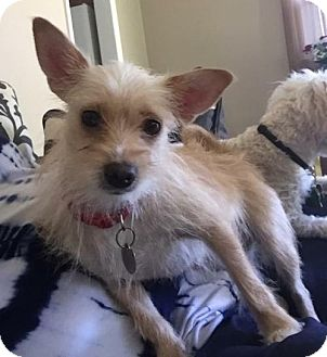 Yorkie, Yorkshire Terrier/Chihuahua Mix Dog for adoption in Livonia, Michigan - D5 Litter-Lizzie (Mom)-ADOPTED
