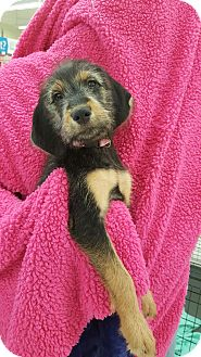 Labradoodle Mix Puppy for adoption in Orland Park, Illinois - DALLIE