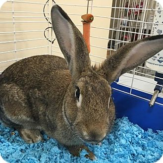 Flemish Giant Mix for adoption in Columbia, Illinois - Lucy