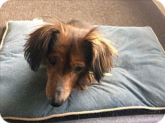 Dachshund Mix Dog for adoption in Austin, Texas - Penny