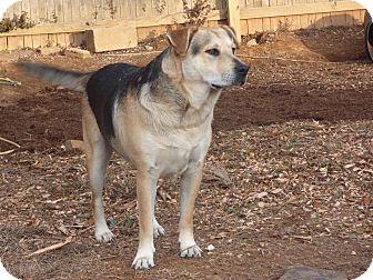 German Shepherd Dog/Labrador Retriever Mix Dog for adoption in Plainfield, Connecticut - Samson