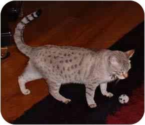 Bengal Kitten for adoption in Redwood City, California - Suki
