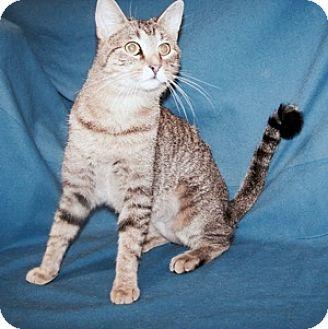 Domestic Shorthair Cat for adoption in Colorado Springs, Colorado - Hollhy