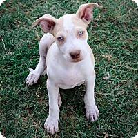 Adopt A Pet :: Keifer - Killeen, TX
