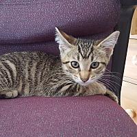 Adopt A Pet :: Lovey - Arlington/Ft Worth, TX