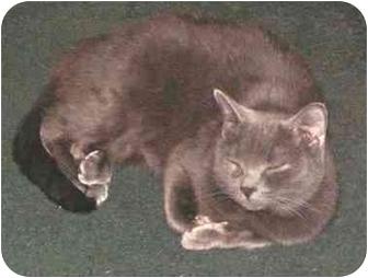 Domestic Shorthair Cat for adoption in Milford, Ohio - Yoda