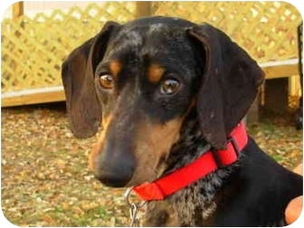 Dachshund Dog for adoption in Bryan, Texas - McClintock