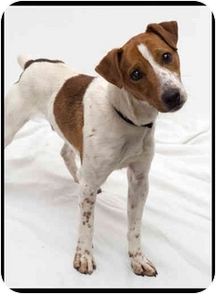 Jack Russell Terrier Mix Dog for adoption in Westfield, New York - Hoss