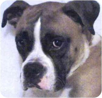 Boxer Dog for adoption in Sunderland, Massachusetts - Chaos