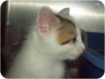 Domestic Shorthair Kitten for adoption in Little Neck, New York - READY END OF SEPT