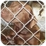 Photo 3 - Labrador Retriever Dog for adoption in Grand Saline, Texas - Cocoa