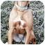 Photo 1 - Golden Retriever/Beagle Mix Dog for adoption in Owatonna, Minnesota - Luna