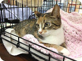 Calico Kitten for adoption in Vero Beach, Florida - Jewel-lea