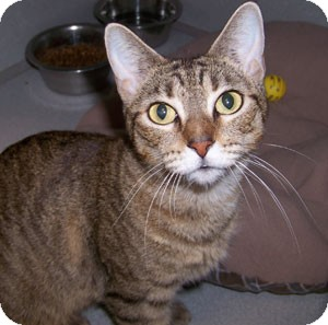 Abyssinian Cat for adoption in Troy, Michigan - Sushi