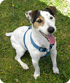 Jack Russell Terrier Dog for adoption in Phoenix, Arizona - JACK
