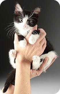 Domestic Shorthair Kitten for adoption in Cincinnati, Ohio - Gus