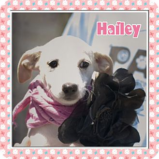 Chihuahua Mix Puppy for adoption in Corpus Christi, Texas - Hailey