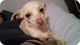 Chihuahua Mix Puppy for adoption in Astoria, New York - Dakota