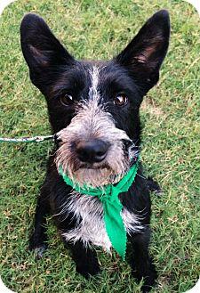 Schnauzer (Standard) Mix Dog for adoption in Chattanooga, Tennessee - Greyson