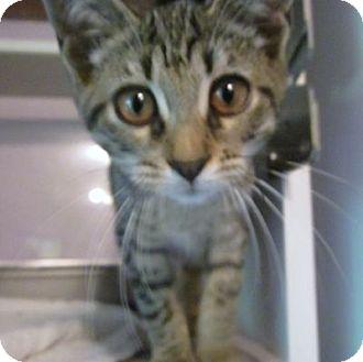 Domestic Shorthair Kitten for adoption in Lyons, New York - Nettie