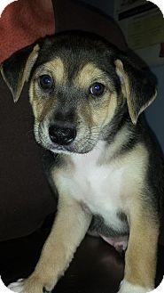 Corgi/Labrador Retriever Mix Puppy for adoption in Rosemount, Minnesota - Hoover