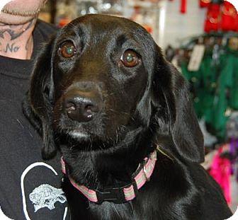 Beagle/Dachshund Mix Puppy for adoption in Brooklyn, New York - Lynn