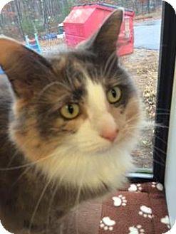 Domestic Mediumhair Cat for adoption in Gloucester, Massachusetts - Willow