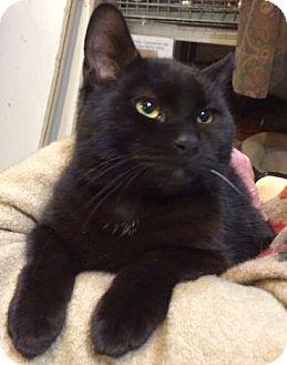 American Shorthair Cat for adoption in Brooklyn, New York - Pluto-Onyx