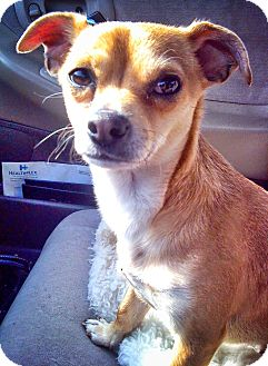 Chihuahua Mix Dog for adoption in Mastic Beach, New York - Scooter!