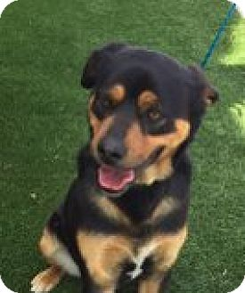 Rottweiler Mix Dog for adoption in Las Vegas, Nevada - Ace