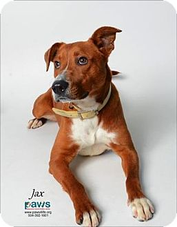 Shepherd (Unknown Type) Mix Dog for adoption in Belle Chasse, Louisiana - Jax