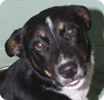 Border Collie Mix Puppy for adoption in Orlando, Florida - Olivia