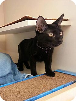 Domestic Shorthair Kitten for adoption in Scottsdale, Arizona - Chip